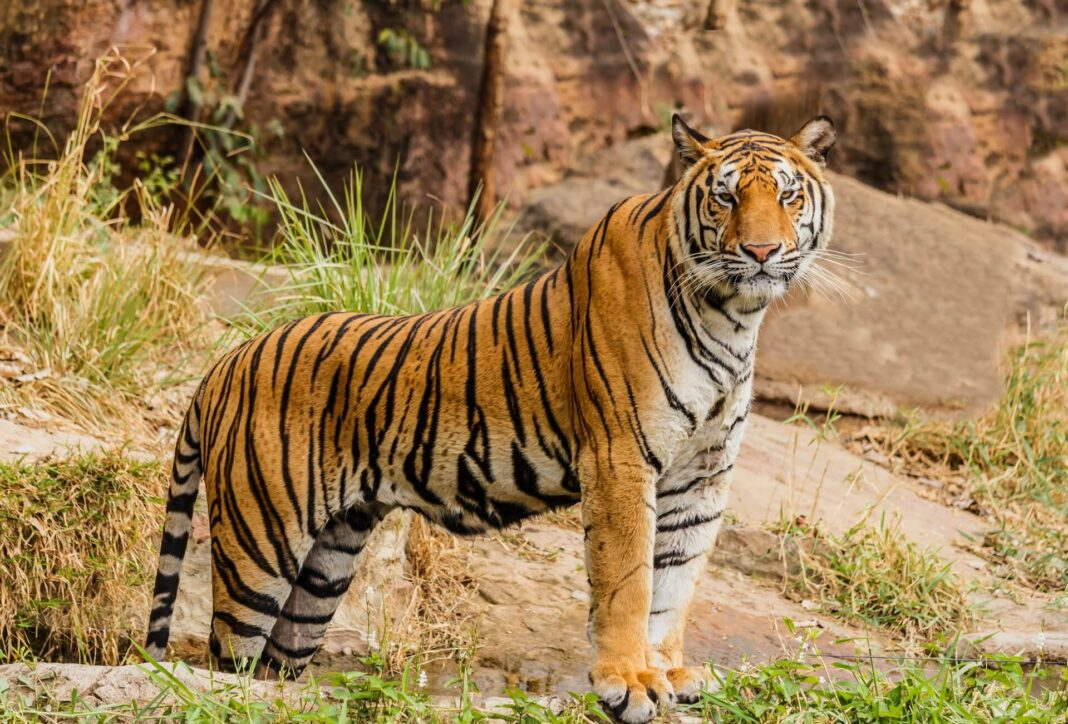 sta znaci sanjati tigra