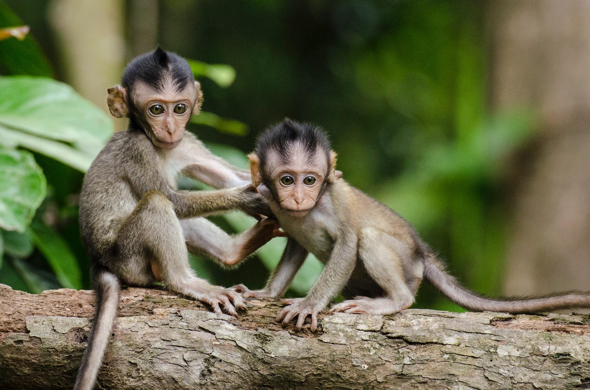 sanjati majmuna