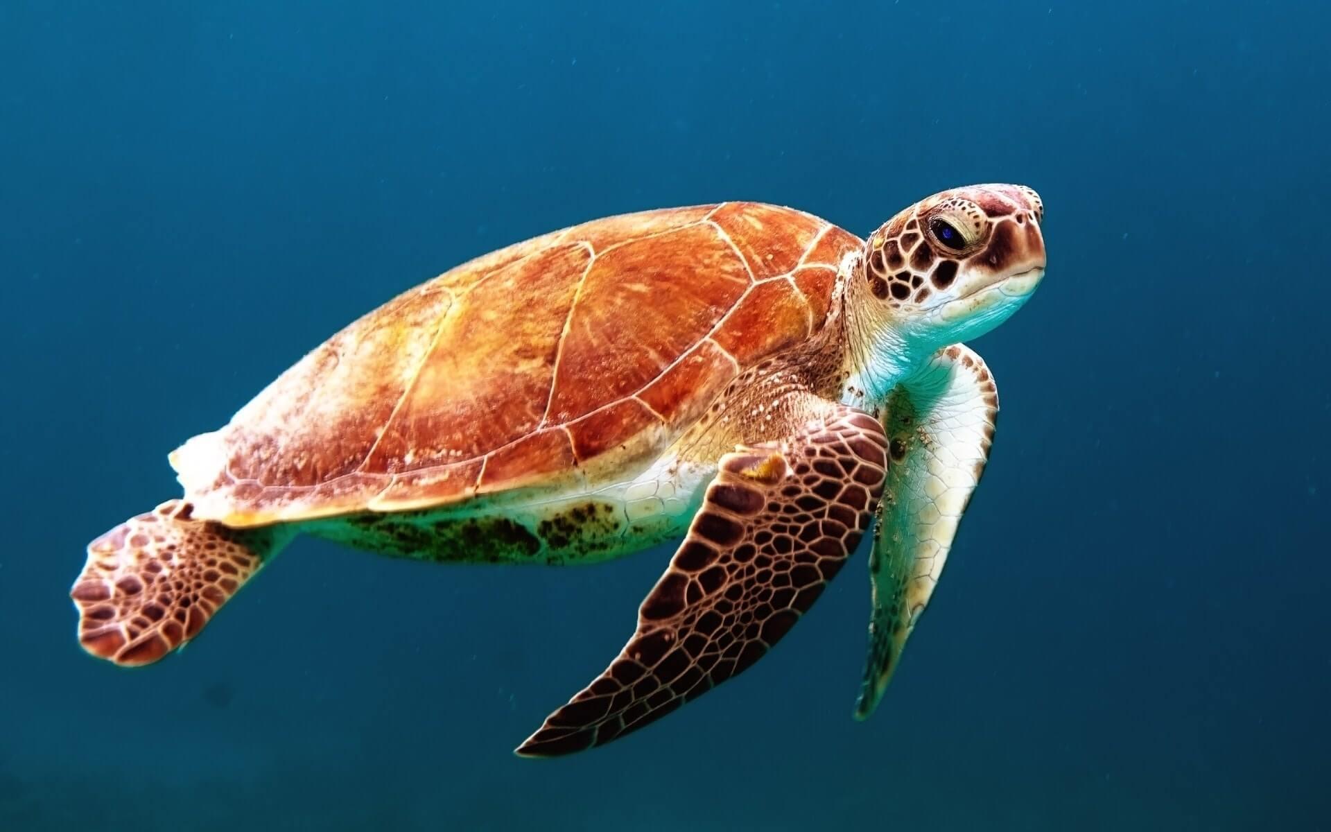 sta znaci sanjati kornjacu