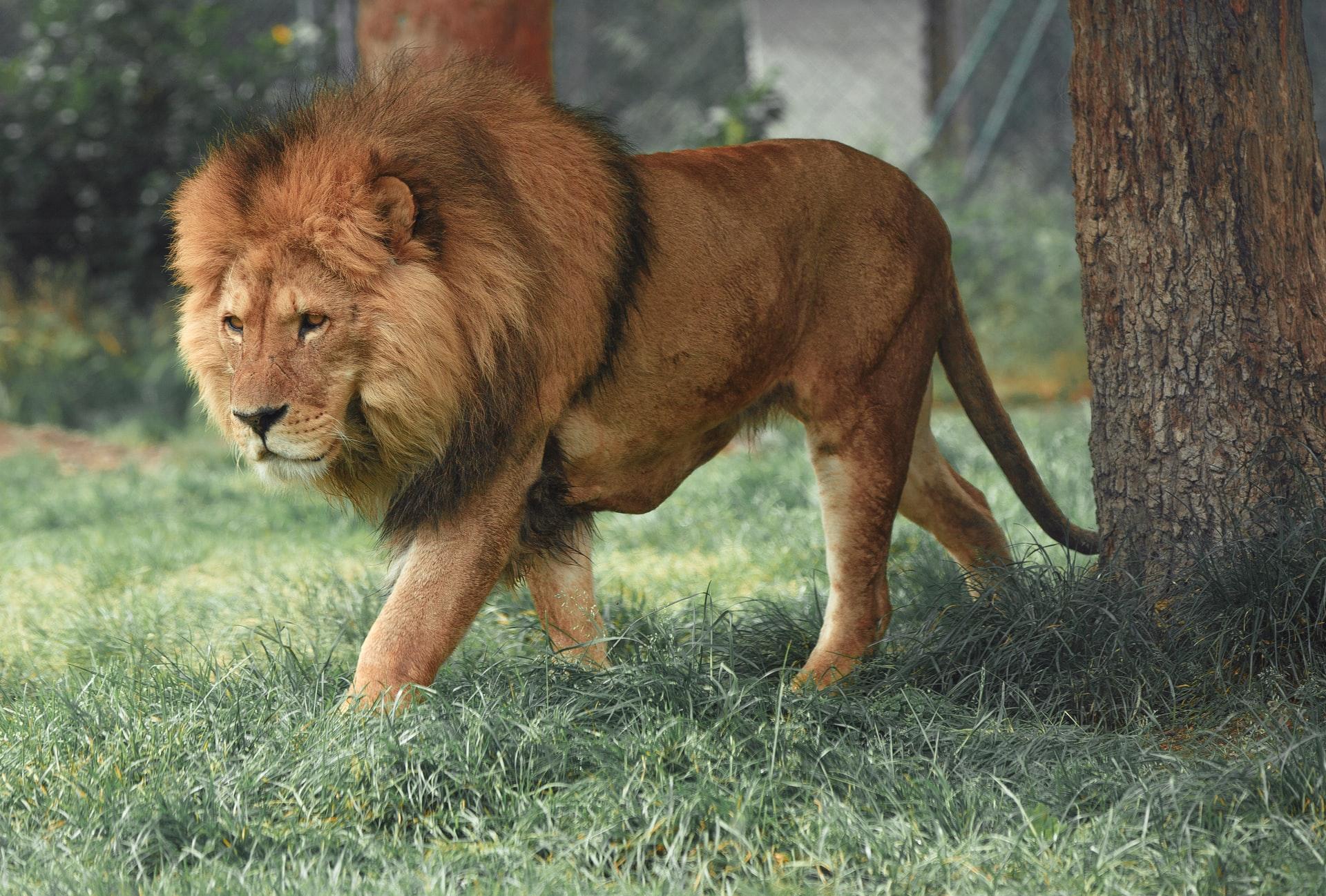 sanjati lava